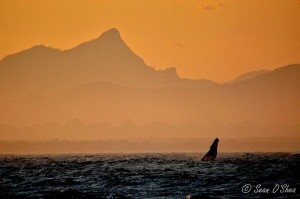 Whale breaching at sunset – view to Mt Warning Photo taken at The Pass. 17:09:13 at Byron Bay.