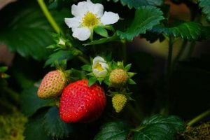 The Legend of the First Strawberry
