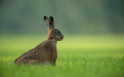 That Virus, Panic Buying and the Sound that Hare Heard